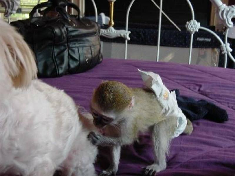 Maimuțe inteligente capucin pentru adoptarea X-mas