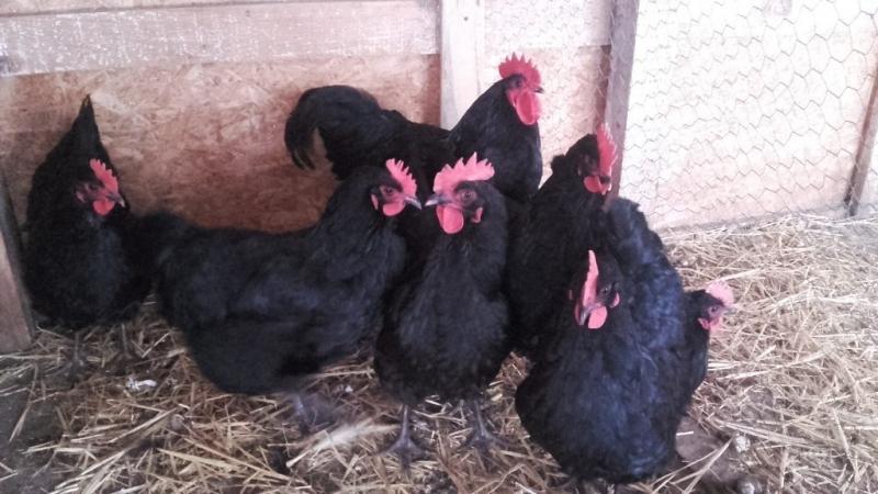 anunturi gratuite Publica Anunt animale sau produse agricole