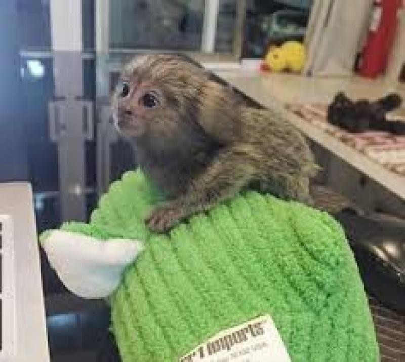 Calități de calitate superioară de marmose pentru adoptare