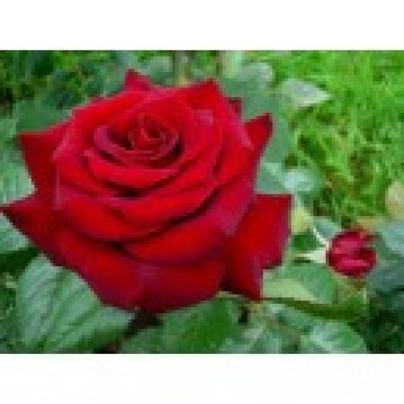 Vand butasi trandafiri altoiti