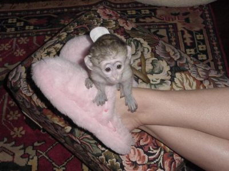 Adorabile Maimuțe Capucinoase Pentru Reconstituire