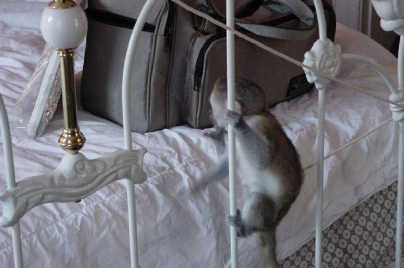 Calitate Maimuțe cu capucini pentru adopție