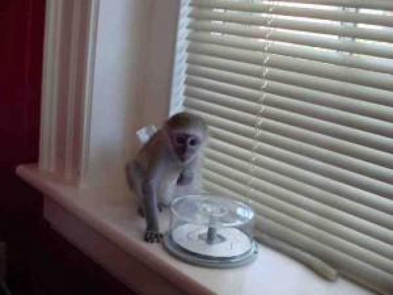 Ei bine instruiți maimuță capucină de sănătate pentru adoptare